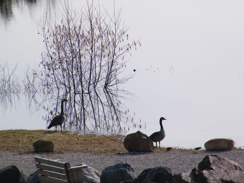 geese-in-spring
